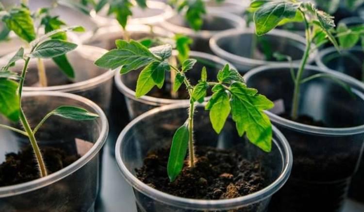 Сроки посадки томатов на рассаду на Урале когда сажить по лунному календарю