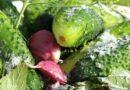 Хрустящие малосольные огурцы в пакете — 10 рецептов быстрого приготовления