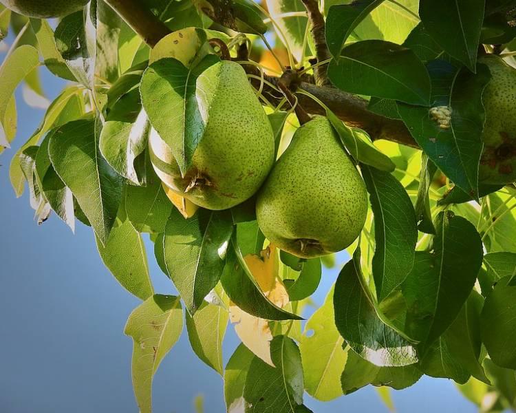 зеленые груши