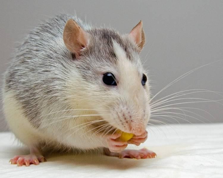 год 2020 крысы