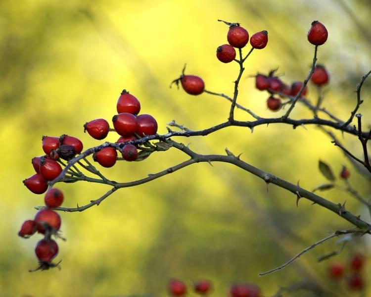 Куст шиповника с красными ягодами