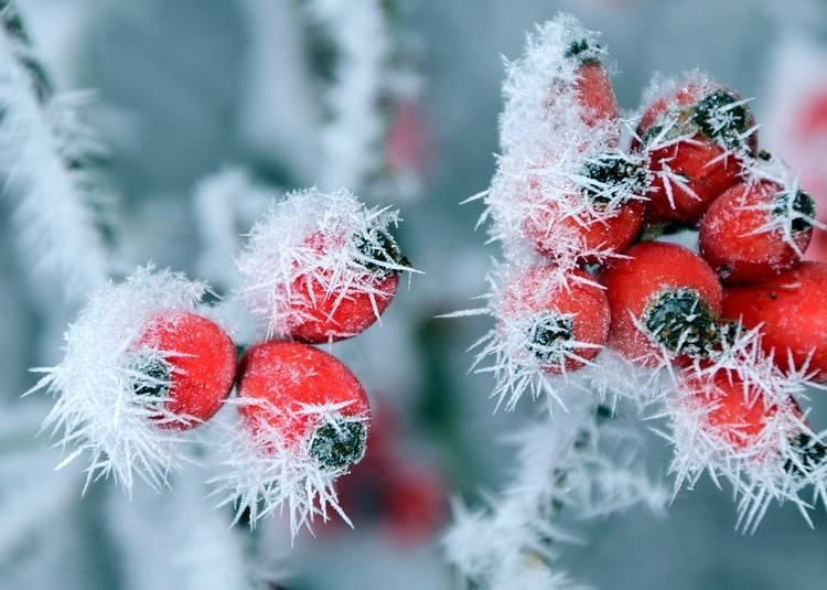 шиповник замороженный зимой