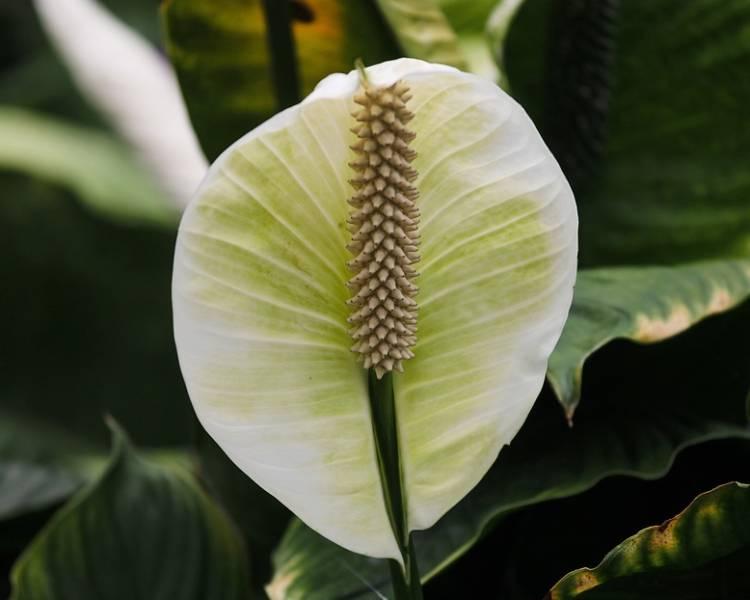 цветок растения спатифиллум