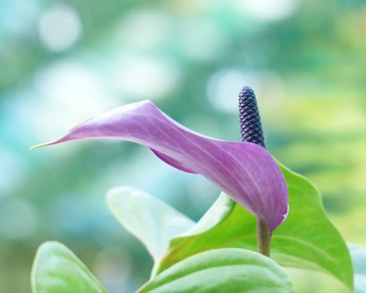 фиолетовый спатифиллум