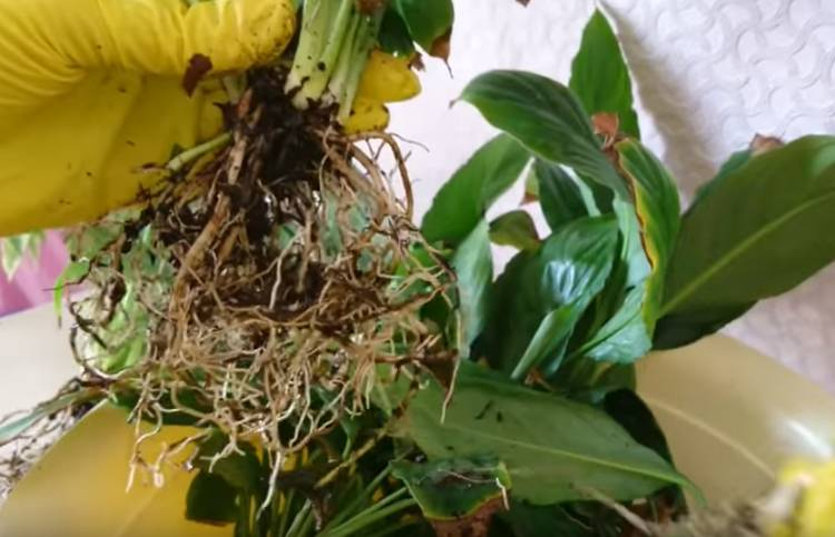 корни спатифиллума