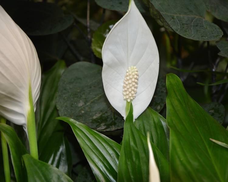 спатифиллум цветет былыми цветами