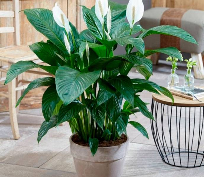 уход за растением спатифиллум