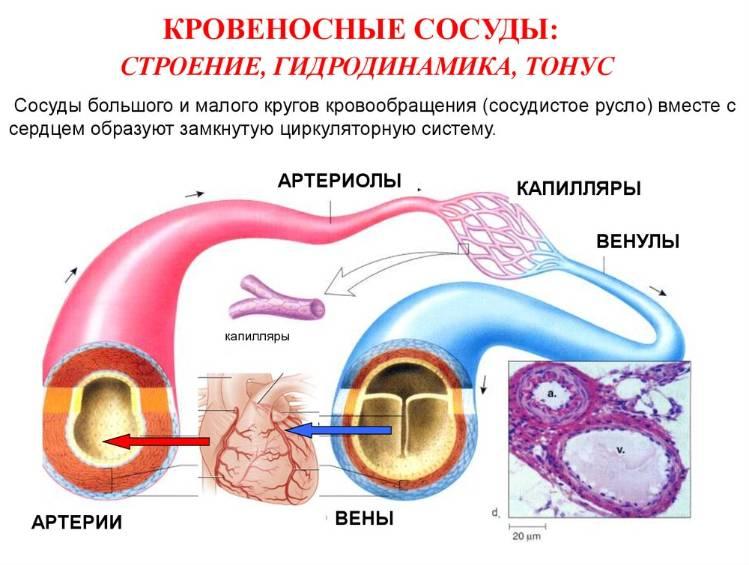 сосуды и артерии