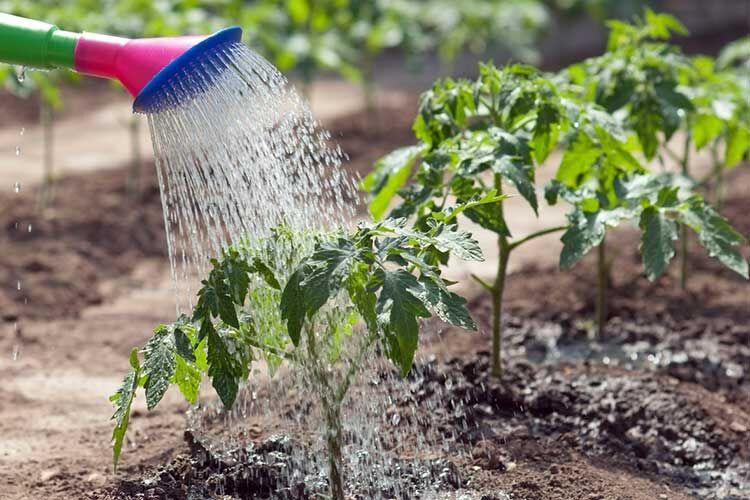 поливать рассаду помидоров