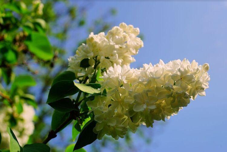 настойка цветов сирени