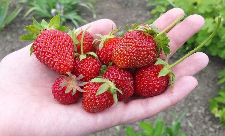 как ухаживать за клубникой весной для урожая
