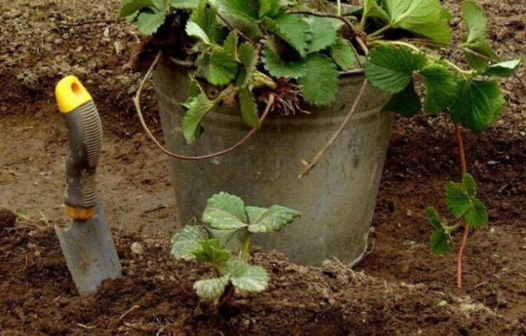 клубника уход и подкорка весной
