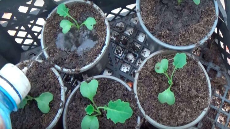 подкормка капусты рассады