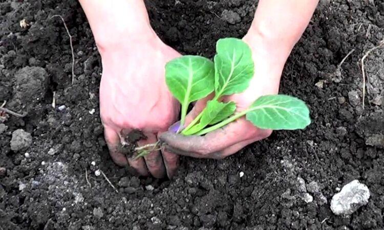 рассада капусты высаживание в открытый грунт