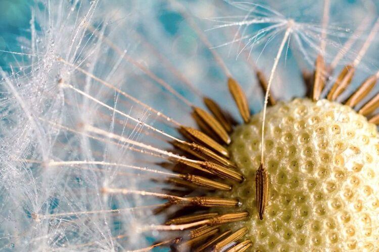 семена одуванчика