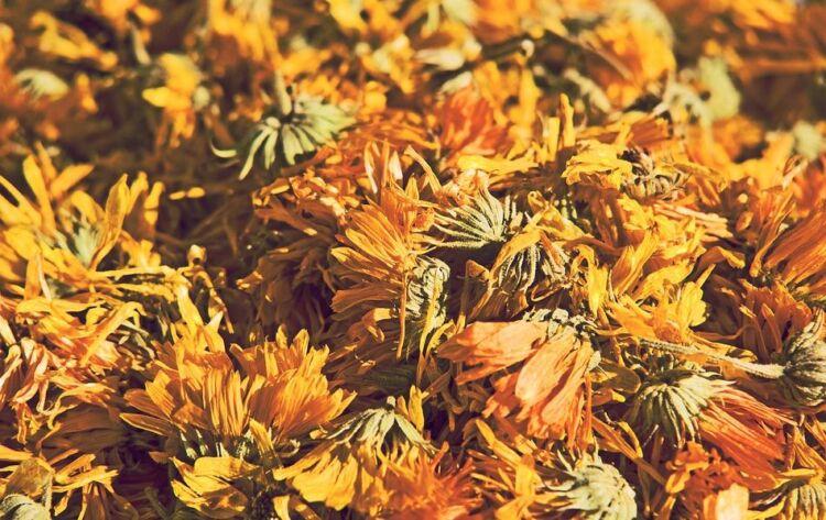 сушенные цветы одуванчика