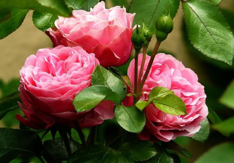 обрезка роз плетистых