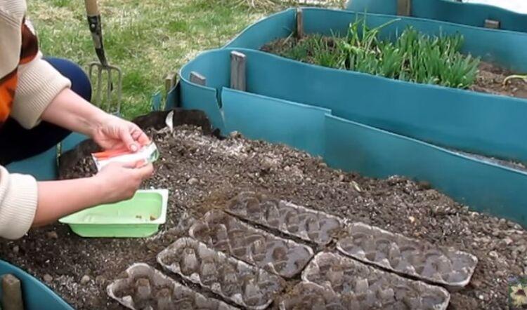 посадка моркови с яичные лотки