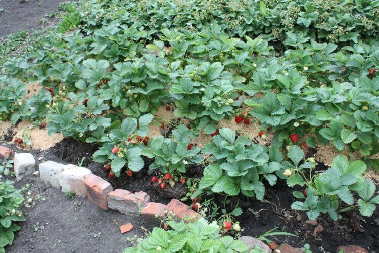 ремонантная земляника выращивание