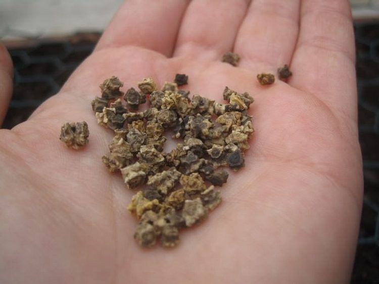 семена свеклы высаживание в открытый грунт