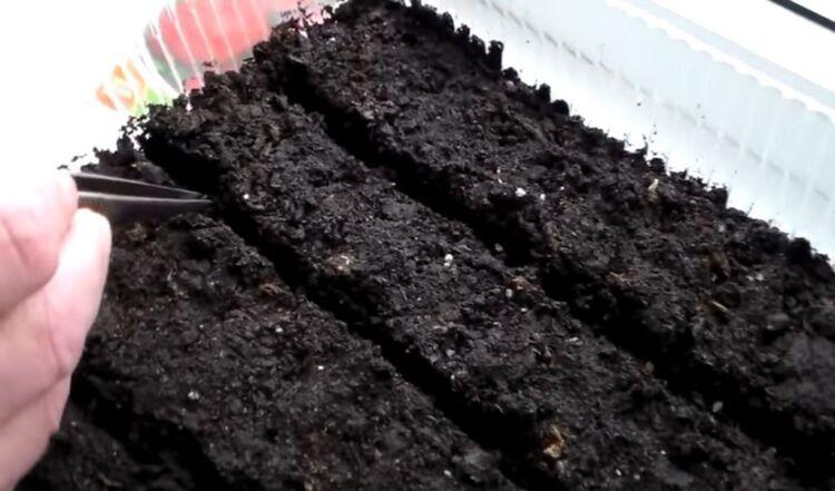 семена высаживают пинцетом