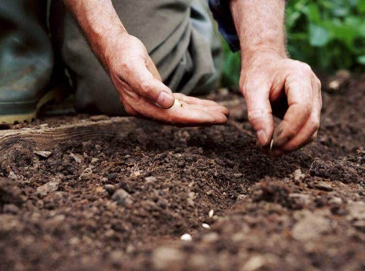 Посадка огурцов в открытый грунт семенами