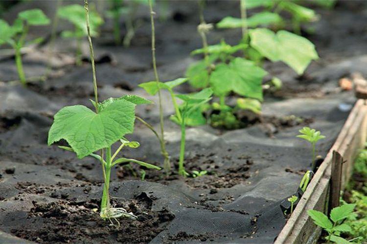 огурцы выращивание на агроволокне