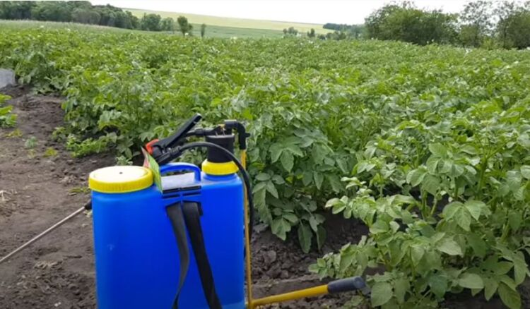Как избавиться от колорадского жука на баклажанах и помидорах