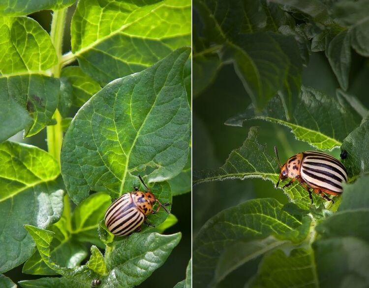 Средство от колорадского жука методы борьбы отравой и народными средствами