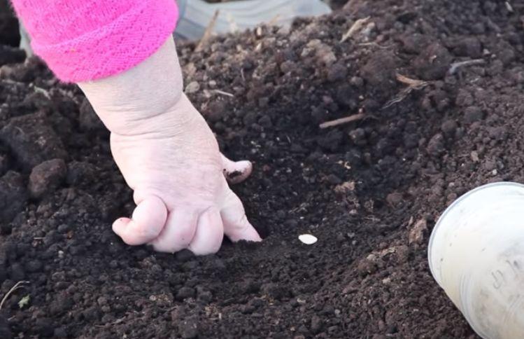 как сажать семена кабачков в открытый грунт