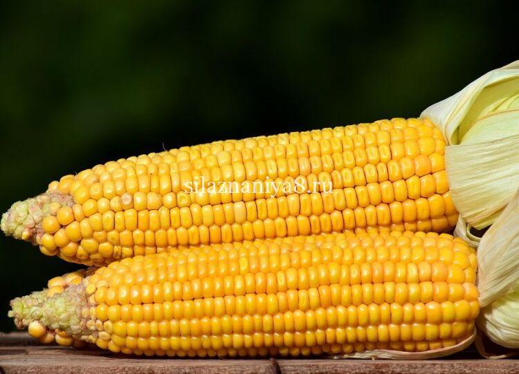 кукуруза перезрела