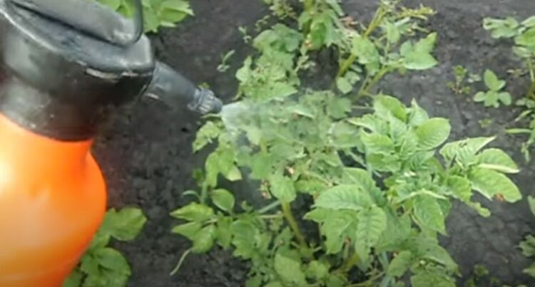 отрава от колорадского жука на картошке