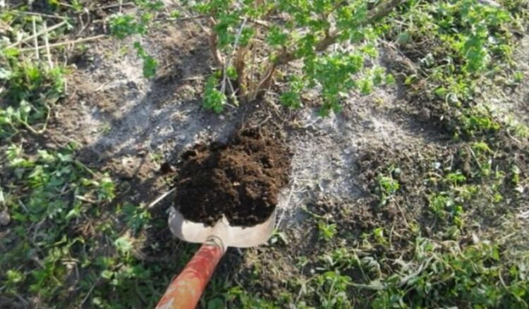 подкормка кустов смородины осенью