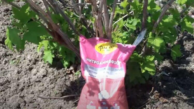 подкормка смородины осенью