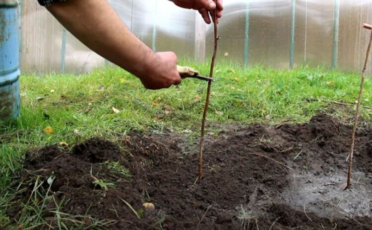 как сажать кусты малины осенью