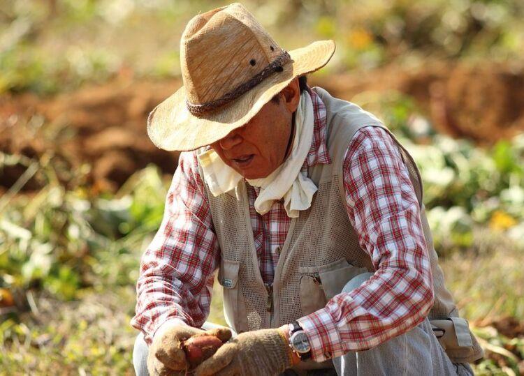 сроки выкапывания картошки