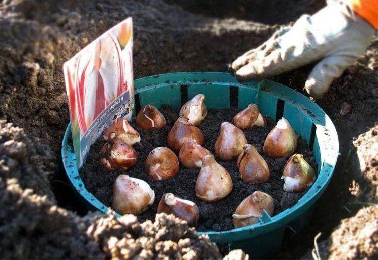 посадка тюльпанов группой в одну лунку в контейнере