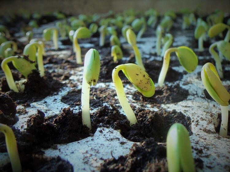 ТЕМА когда сажать петунию на рассаду в 2021 году: благоприятные дни Предисловие (что такое петуния, что за цветок) когда сажать петунию на рассаду в 2021 году по лунному календарю Благоприятные и неблагоприятные дни посадки петунии Самые популярные сорта петуний Подготовка семян и почвы к посадке В какие емкости сеять семена петунии Уход за рассадой цветов петунии в домашних условиях Как происходит прищипывание петунии Когда и как правильно пекировать рассаду петунии Посадка на постоянное место Что делать для пышного цветения петунии