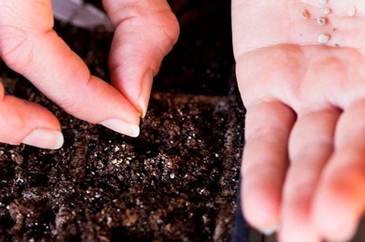 сажать семена в землю помидоров