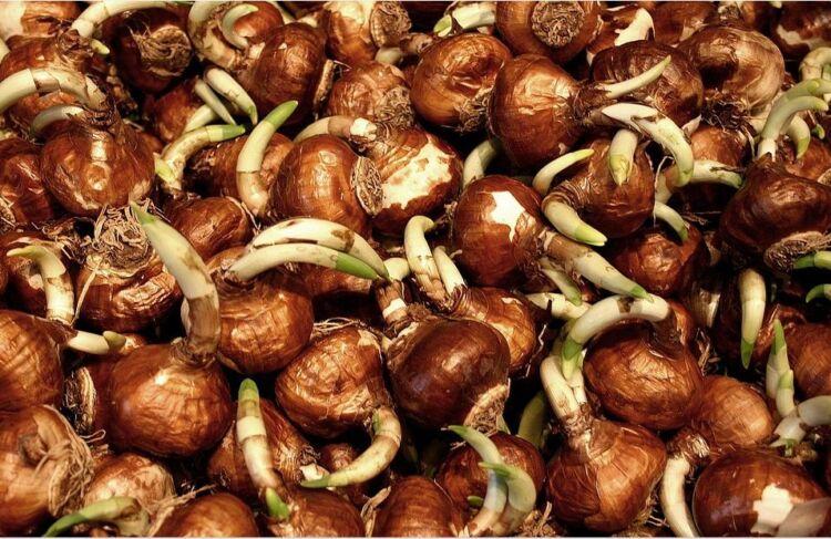 луковицы тюльпаны