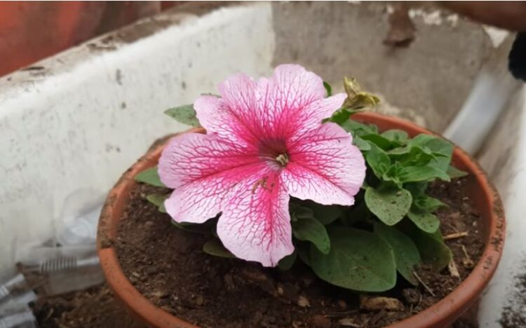 пересадка цветка петунии
