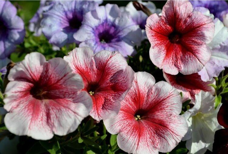 петуния цветы