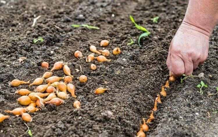 лук севок в открытый грунт
