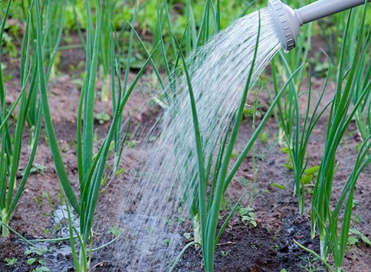 поливать лук