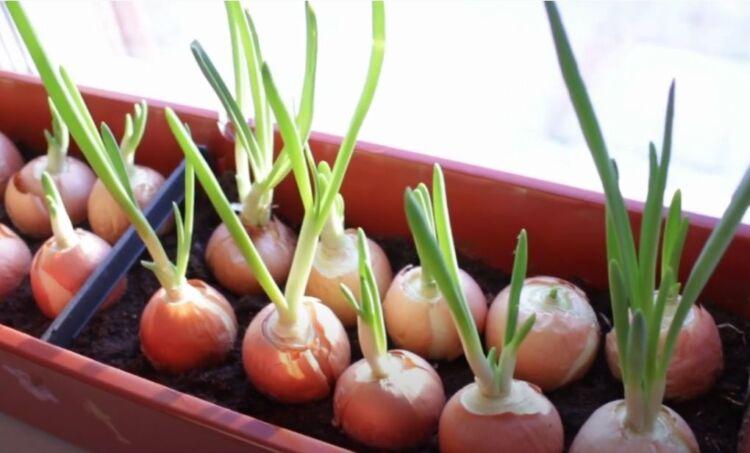лук выращивание на подоконнике