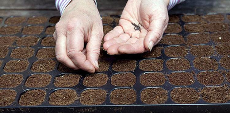 сажать семена капусты в грунт