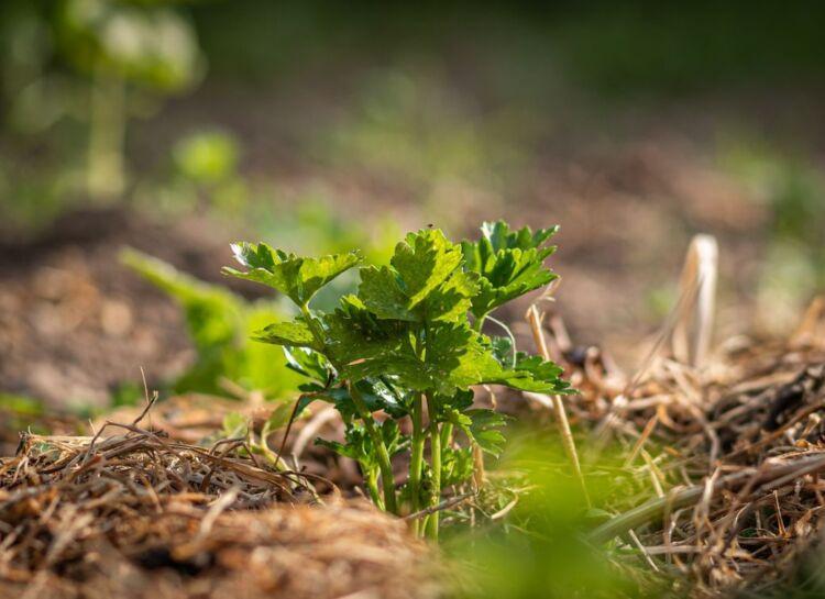 сельдерей в открытом грунте