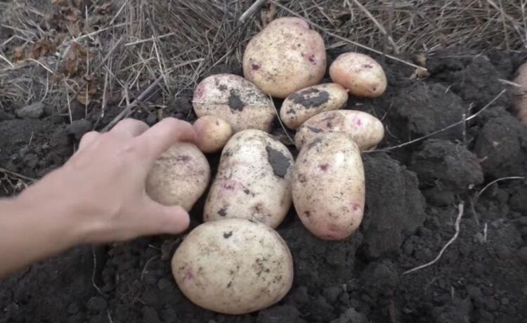 сколько созревает картофель