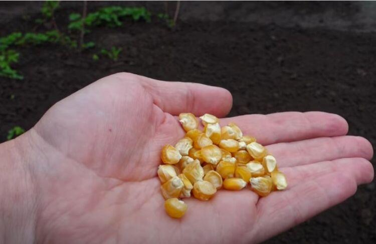 когда сажать кукурузу