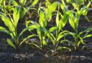 кукуруза посадка на рассаду